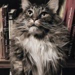 Le caractère du chat en fonction de sa race